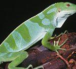 Fiji Banded Iguana Brachylophus bulabula
