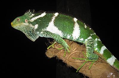 Bracyhlophus Vitiensis Peter Harlow