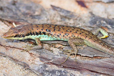 First-ever record of a Fiji Barred Tree Skink (Emoia trossula) from Vanua Levu Island. They were assumed to be extinct due to mongoose since the 1880s. It was found 16 meters up a tree while searching for iguanas. Photo by Adam Clause.