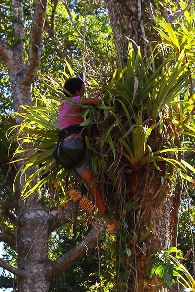 Kalisi Waga searching within a Collospermum montanum epiphyte high in the forest canopy, Nabukelevu, Viti Levu. Photo by Adam Clause.