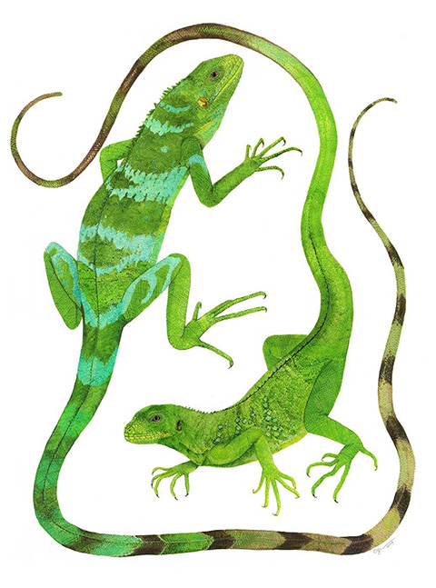 Painting of Gau Iguana holotype by Cindy Hitchcock.