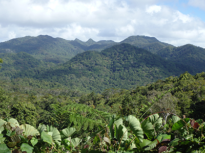 Relatively pristine forest in the interior of Vanua Levu where iguana surveys were conducted. Photo by Robert Fisher.
