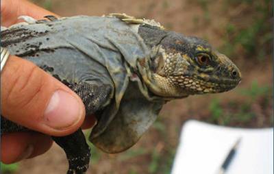A small adult male Black-chested Spiny-tailed Iguana