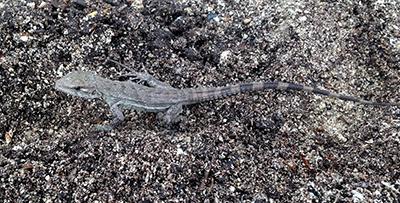 Ctenosaura bakeri