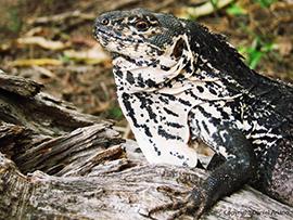 Ctenosaura palearis Motagua Spiny-tailed Iguana