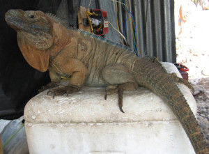 Cyclura collei
