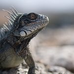 Common Green Iguana from Curaçao. Note the large cheek scale that the Lesser Antillean Iguana does not have, regardless of size for either iguana. Photo by Bruce Sellmeijer.