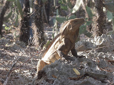 Ricord's Iguana photographed in the Dominican Republic