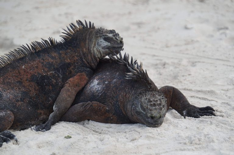 Galapagos Marine Iguana Mark welch