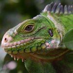 Lesser Antillean Iguana Iguana delicatissima