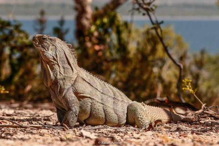 Ricord's iguana