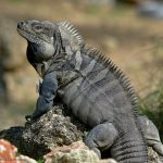 Cyclura_ricordii_JohnBinns