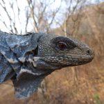 Ctenosaura palearis - Daniel Ariano