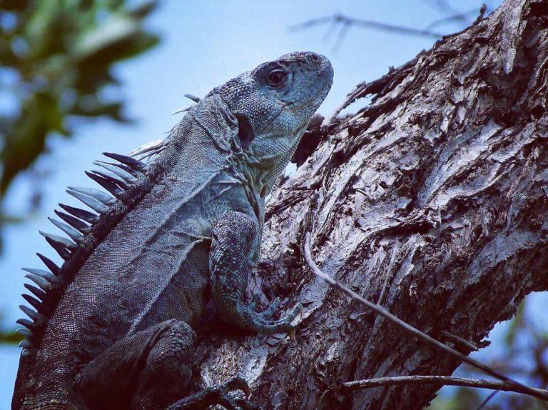 A male Utila Spiny-tailed Iguana