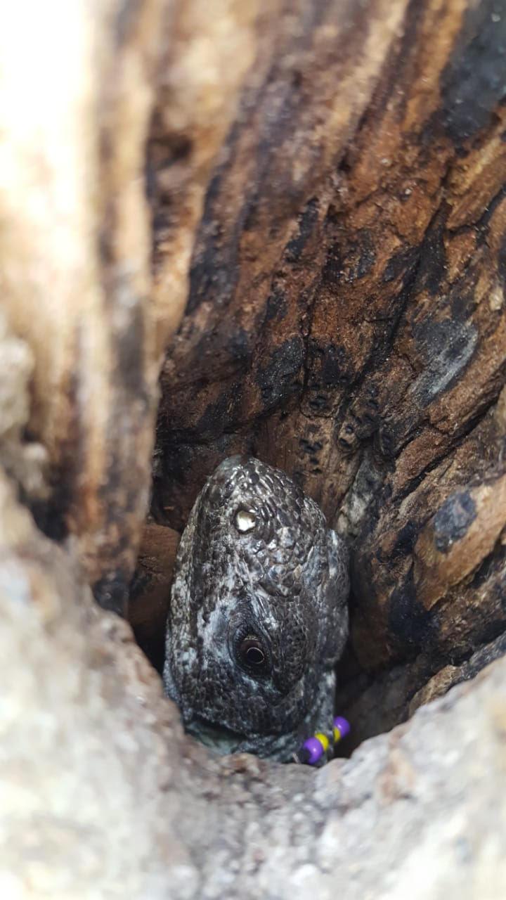 A female Swamper in a tree hollow – Bryan Cruz