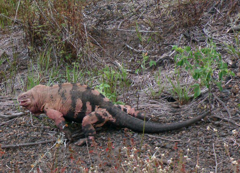Galapagos Pink Iguana