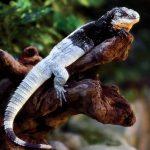 Ctenosaura melanosterna- John Binns