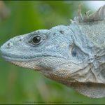 Utila Spiny-tailed Iguana Ctenosaura bakeri - John Binns