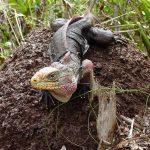 cychlura cychlura Andros rock Iguana
