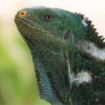Fiji Crested Iguana - Cayle Pearson
