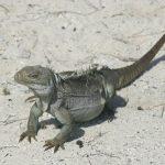 Turks and Caicos Rock Iguana - Cyclura carinata