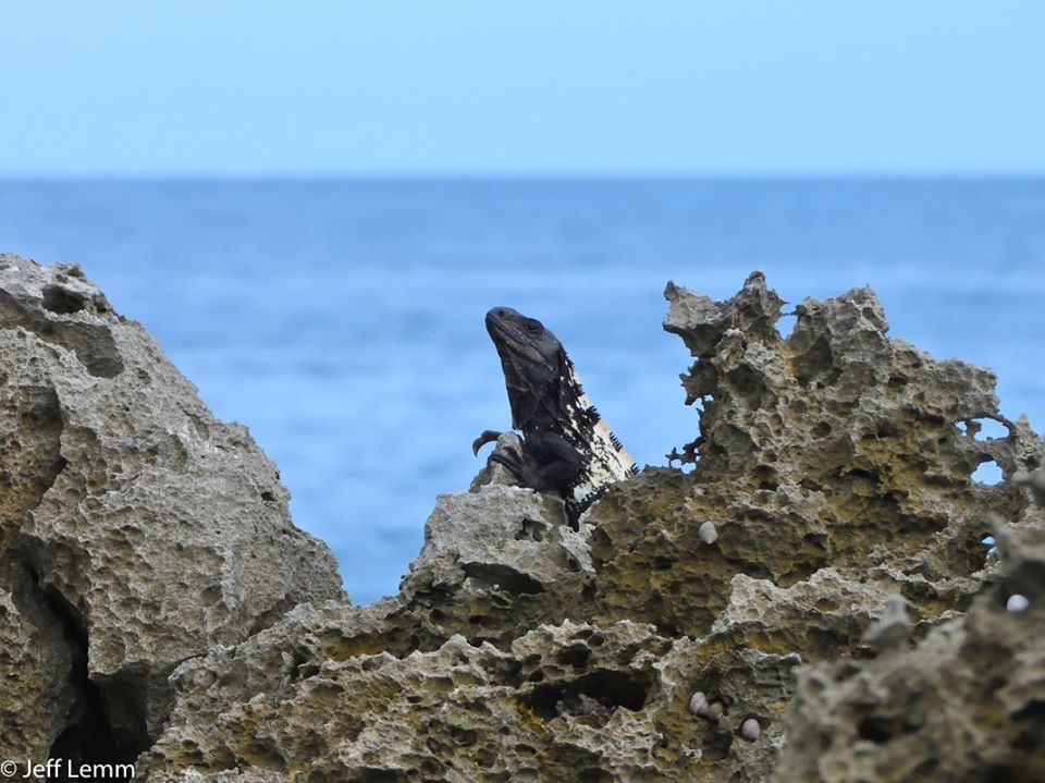 Ctenosaura oedirhina on the Roatan Iron Shore - Photo Jeff Lemm