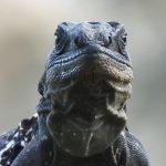 Ctenosaura oedirhina - Jeff Lemm