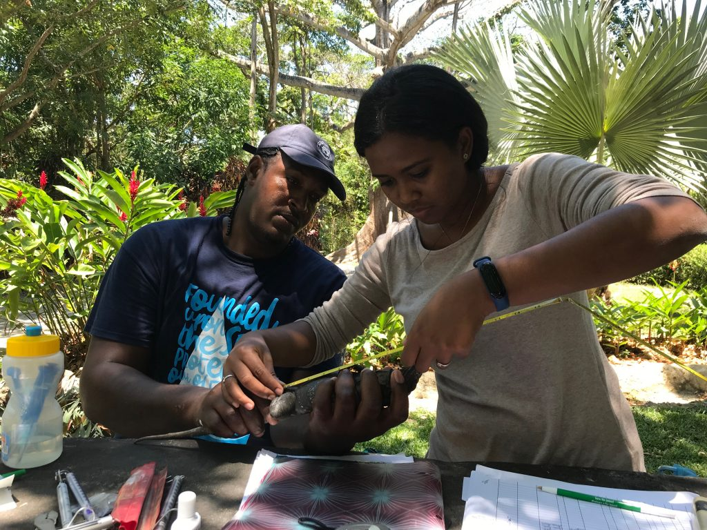 Workshop participants (Joe Jamieson and Ydsell Bonilla) taking biometrics of a captured C. oedirhina. Photo by Daisy Maryon.