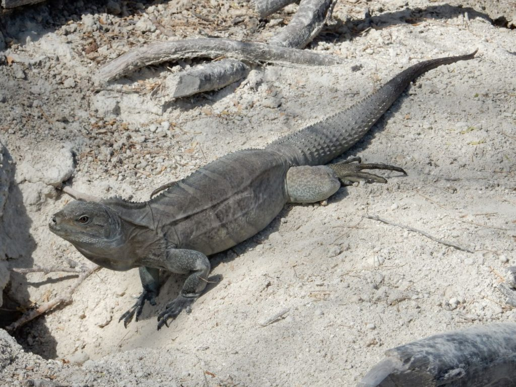 Ricords iguana seen in restoration area in southern shore of Lake Enriquillo. By Hector Andujar. - Copy