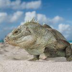 Turks and Caicos Rock Iguana (Cyclura carinata