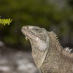Turks and Caicos Rock Iguana (Cyclura carinata) on Little Water Cay